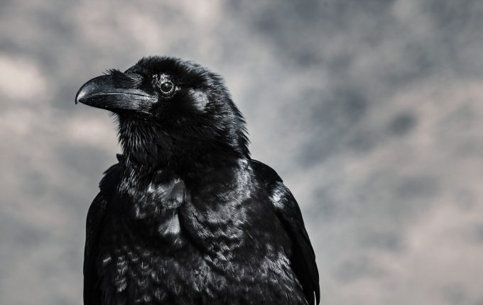 selective-focus-photograph-of-black-crow-946344.jpg